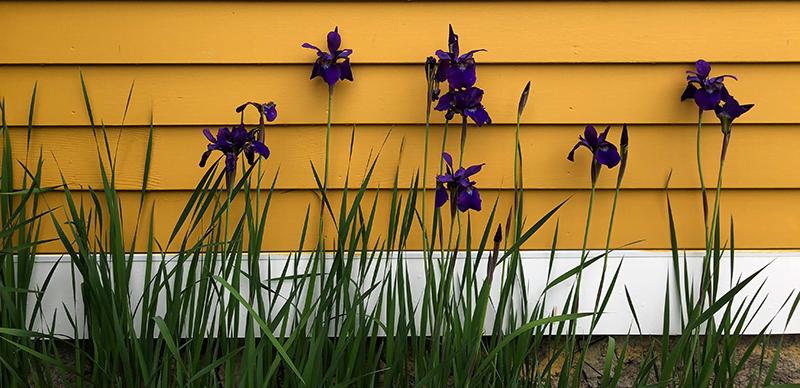 Photograph of purple irises against a yellow barn